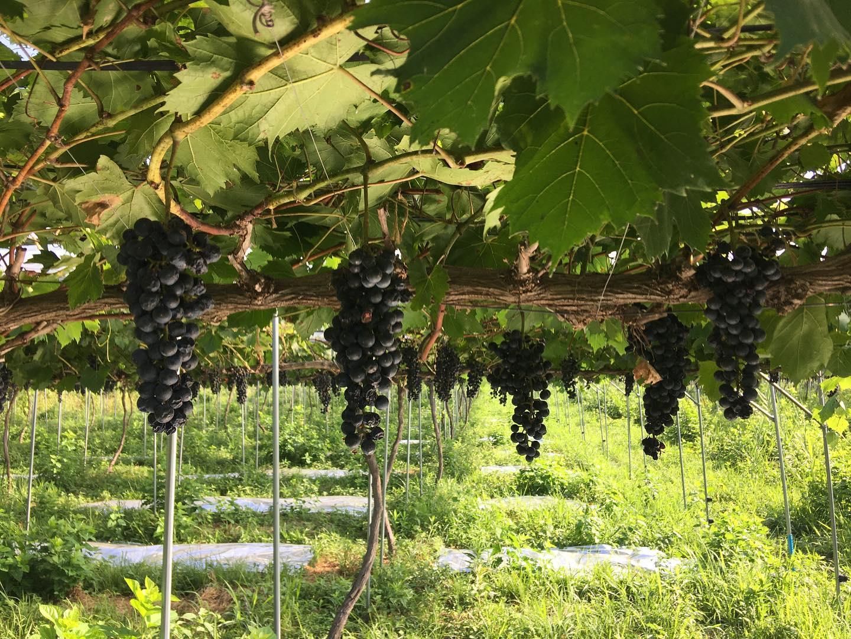 国内の無農薬ワインで、有数の完成度を誇るワイン