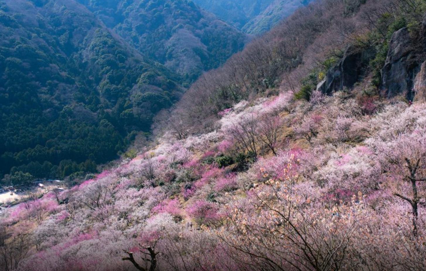 湯河原梅林開花情報 「七分咲き」
