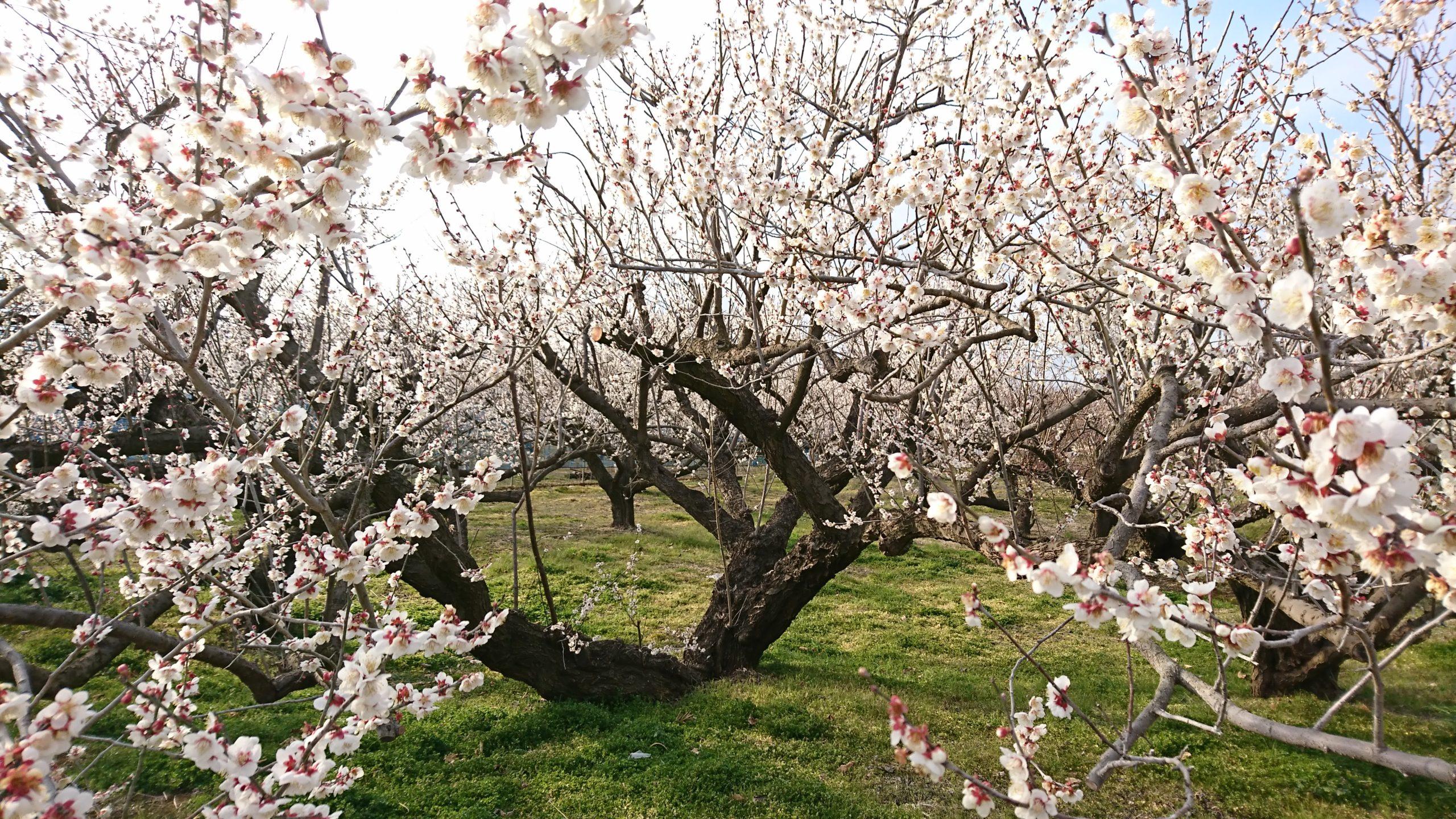 梅の抗ウィルス作用 -食の文化