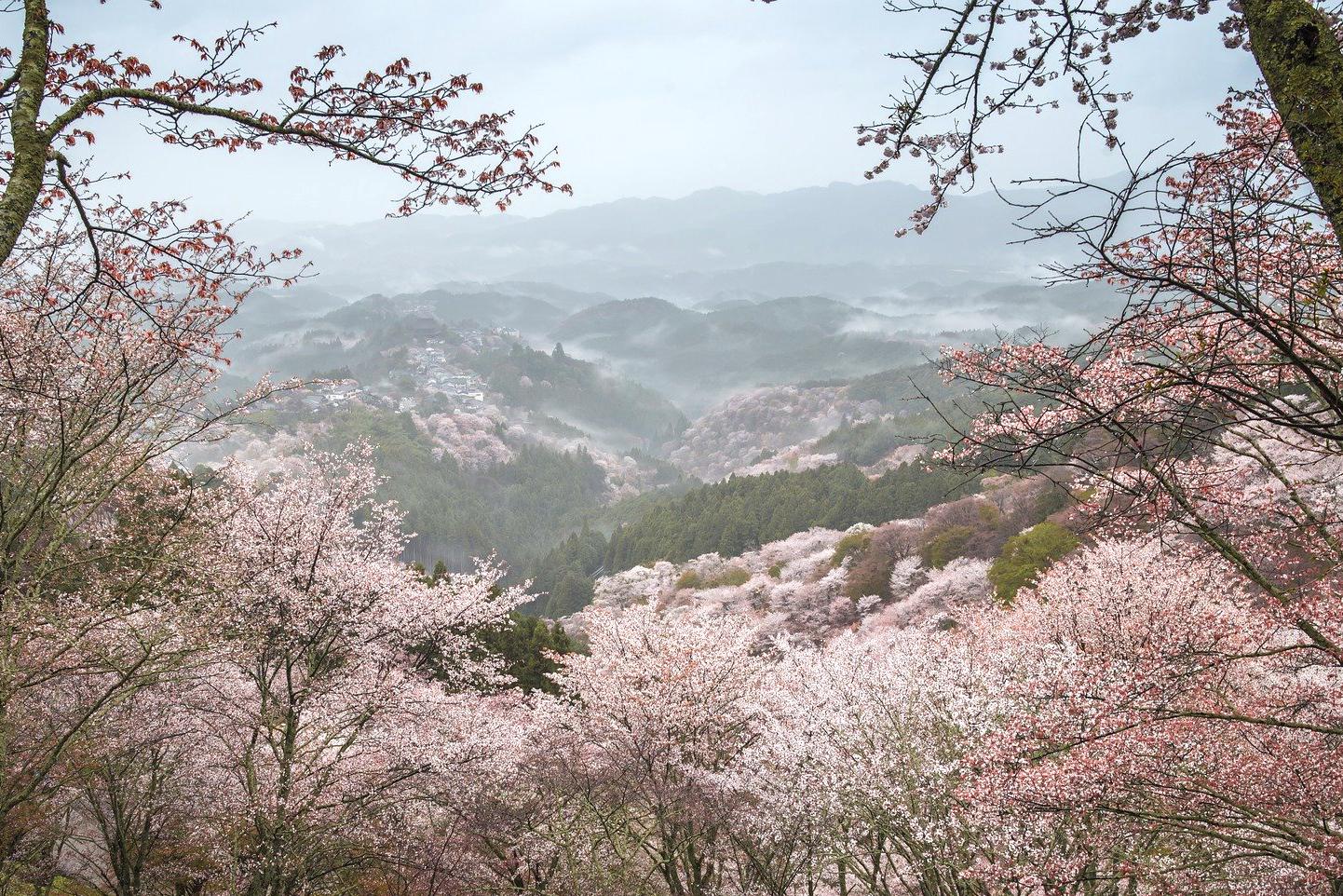日本三大桜と本居宣長が愛した山桜